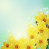 Świezi wiosna kwiaty daffodils Fotografia Royalty Free