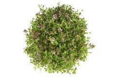 Świezi ziele Obraz Royalty Free
