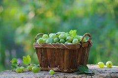 Świezi zieleni agresty w koszu plenerowym Zdjęcie Stock