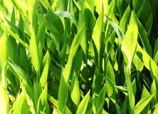 świezi zieleni ziele Obraz Royalty Free