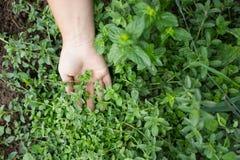 Świezi zieleni ziele przy miejscowego gospodarstwem rolnym Fotografia Stock