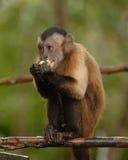 Wig-afgedekte capuchin Stock Afbeeldingen