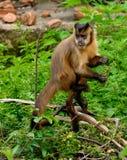 Wig-afgedekte capuchin Royalty-vrije Stock Foto