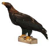 Wig-de steel verwijderd van Eagle Stock Fotografie