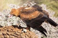 Wig-de steel verwijderd van Eagle Eating stock afbeeldingen