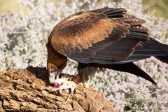 Wig-de steel verwijderd van Eagle Eating royalty-vrije stock afbeelding