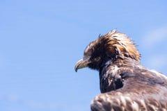 Wig van De steel verwijderd Eagle Stock Foto