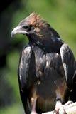 Wig van De steel verwijderd Eagle Royalty-vrije Stock Foto's