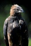 Wig van De steel verwijderd Eagle Stock Afbeeldingen
