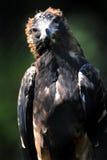 Wig van De steel verwijderd Eagle Stock Afbeelding