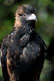 Wig van De steel verwijderd Eagle Royalty-vrije Stock Foto