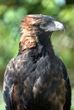 Wig van De steel verwijderd Eagle Stock Fotografie