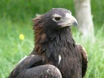 Wig van de steel verwijderde adelaar Stock Foto's