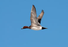 Wigeon. In flight against a clear blue sky Royalty Free Stock Photos