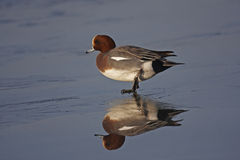 Wigeon. A male Wigeon walking on ice Royalty Free Stock Photography