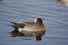 Wigeon. A male Wigeon resting with its head on its back Royalty Free Stock Image