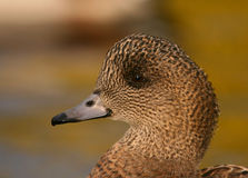 Wigeon Stock Photos