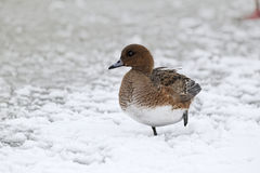 Wigeon, Anas penelope,  female Stock Photography