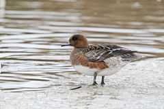 Wigeon, Anas penelope,  female Stock Photo