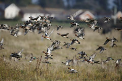 Wigeon, Anas penelope Royalty Free Stock Images