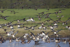 Wigeon; Anas penelope Royalty Free Stock Photography