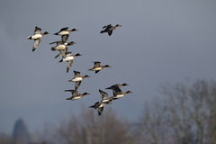 Wigeon, Anas penelope Stock Photography