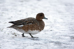 Wigeon, Anas penelope Royalty Free Stock Photography