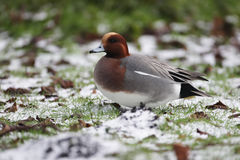 Wigeon, Anas penelope. A single male standing on icy grass, Dumfries, Scotland, winter 2009 Stock Photo