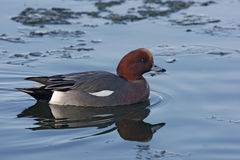Wigeon, Anas penelope Royalty Free Stock Photo