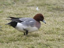 Wigeon, Anas penelope. Single male on grass, Gloucestershire, March 2018 Stock Photography