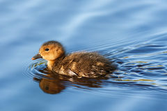Wigeon chick Royalty Free Stock Photos