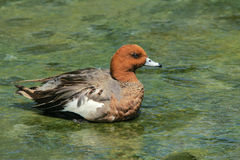 Wigeon Stock Photo