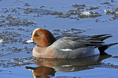 A Wigeon Drake (Anas penelope). A Eurasian Wigeon Drake (Anas Penelope) swimming on an icy lake in North Western Britain Royalty Free Stock Photos