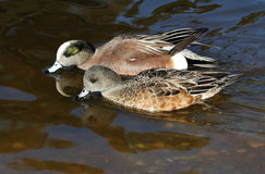 Wigeon Drake and Hen Ducks. A pair of beautiful wigeon ducks Royalty Free Stock Image