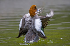 Wigeon duck. Comb feathers in the river Royalty Free Stock Image