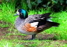 Wigeon Duck Ducks de Chiloe Imagen de archivo libre de regalías