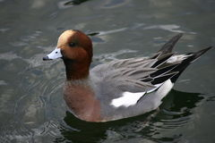 Wigeon duck floating on water Stock Photo