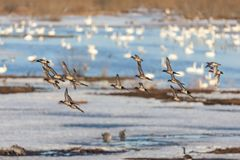 Wigeon Ducks. Flock with Wigeon Ducks flying over the lake Royalty Free Stock Images