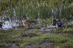 Wigeon Ducks in Shallow Wetland stock photo