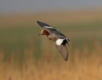 Wigeon eurasiático Fotografía de archivo libre de regalías