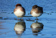 Wigeon on Ice. A pair of Wigeon ducks standing on an ice covered pond at the Wildfowl and Wetland Trust Reserve at Caerlaverock in South West Scotland, UK royalty free stock images