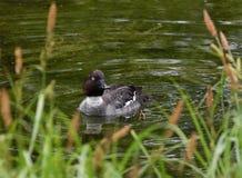 Wigeon kaczki Anas penelopa na rzece Obraz Stock