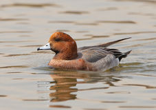 A Wigeon on patrol. A male Wigeon (Mareca penelope) patrols it´s territory in alert of any other male intruder at the Tablas de Daimiel national park in central Royalty Free Stock Photography