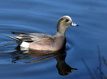 Wigeon reflections Royalty Free Stock Photo