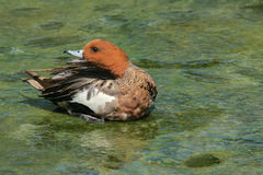 Wigeon Royalty Free Stock Photo