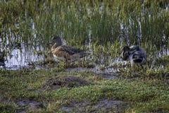 Wigeonen duckar i grund våtmark arkivfoto