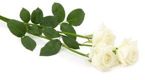 Wight róże odizolowywać na białym tle Obrazy Royalty Free