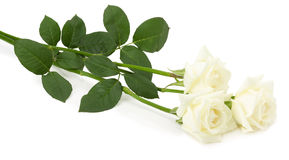 Wight roses isolated on the white background Royalty Free Stock Images