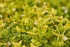 wighten blommar med gula sidor Arkivfoto