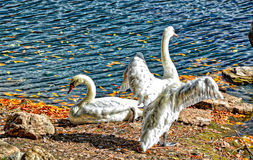 Wings Open Swans at the Broadmoor Resort and Hotel - Colorful - with Lake Stock Photos